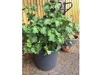 """Large Lavatera shrub. Approx 38"""" high . Pot 20"""" diameter. About to flower"""