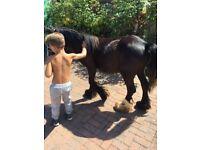 Black colt horse horse sale