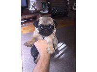 Pug puppy's