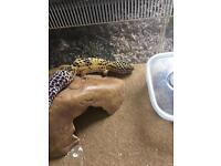 Leopard Gecko with equipment