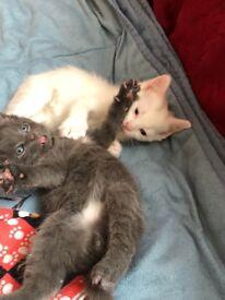 British short hair x kittens for sale
