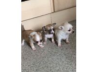 3 beautiful boys chihuahuas.