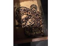 2 royal pythons with full set up CAN DELIVER