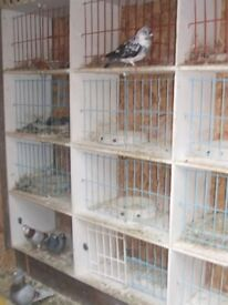 pigeon loft 12ftx8ft with 20 widowwood boxs corrder