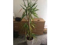 Yukka plant & white pot