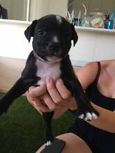 Purebred English Staffy Puppy FOR SALE Morayfield Caboolture Area Preview