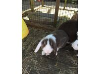 Mini lop and lion lop baby bunnies