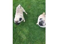 Two female pugs