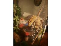 Crested gecko with full set up