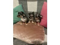 Dachshund X chihuahua puppies available