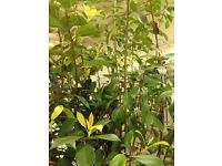 2 x Photinia Red Robin trees / shrubs / plants