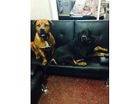 3/4 Rottweiler and 1/4 French Mastiff (Dogue de Bordeaux) puppy for sale