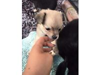 Chihuahua Long Haired puppies 2 boys left. One black n tan. One tan. Born 8/6/16