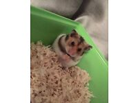 3 hamsters for sale