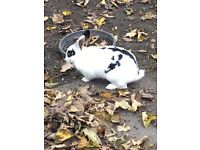 Cute,adorable, black and white rabbit.