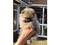 Beautiful pomeranian puppies for sale (2 girls & a boy)