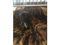 Full pedigree pug pup