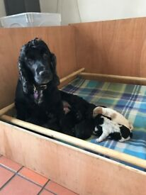Beautiful Black & Tan F1 Cockapoo little girl pup