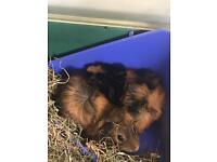 2 baby guinea pigs for sale with indoor cage etc