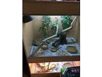 Bearded dragons and double viv
