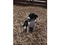 Sheepdog border collie pup for sale