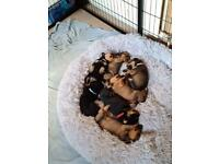 Beautiful Rottweiler cross puppies