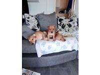 Patterdale terriers