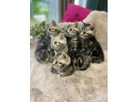 Beautiful BSH tabby kittens GCCF registered