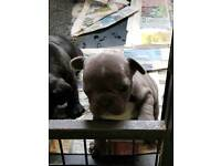French Bulldog k.c reg puppies