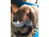 Male mini lop