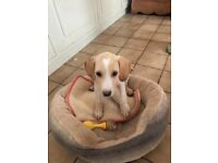 Stunning beagle