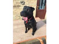Shar-Pei puppy male 1 year old