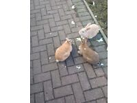 3 MALE RABBITS FREE