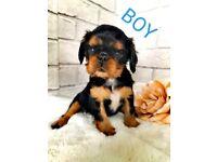 King charles puppy boy