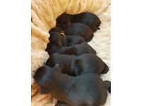 Full yorkshire terrier puppys 4 girls and one boy left