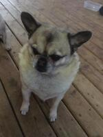 Pug/Pom Looking for a good home