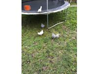Free Dutch Bantam Rooster- Grey and White