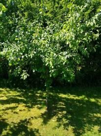 Free established trees
