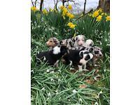 Blue meryl collie pups