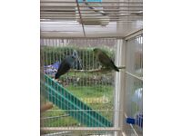 2 X Pairs of Parrotlets year old