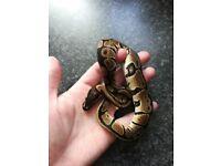 Cb18 female royal. P snake... Reptiles