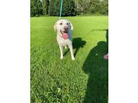 Labrador girl for sale