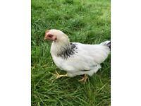 Light Sussex cockerels large fowl £5