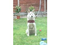 Siberian husky full breed 16 months old ready to leave