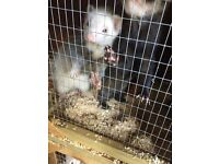 2 castrated ferret hobs for sale