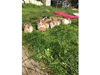 6 Dutch rabbits