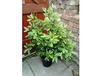 Garden Shrub Plant Bay Laurel , Laurus Nobilis