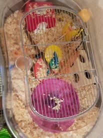 2 Dwarfs with cages & all stuff for sale