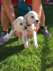 Labrador puppies READY NOW ONLY 2 LEFT
