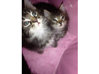 Snow Bengal Cross Kittens For Sale